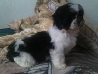 I have a female shih-tzu puppy for sale. She is very