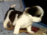 I have 1 beautiful male shih tzu puppy for sale he has