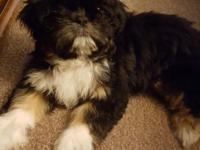 Cute lovable shih tzu puppy ready to go to his forever