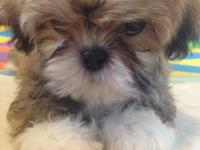 shih tzu puppies for sale in charleston sc newfoundland puppy brown and white female 12 14 weeks 9930