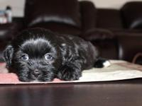 Cute, sweet and very playful Shih Tzu puppy ready for a