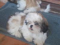 Cute shih tzu purebreed puppies for sale only 3 months