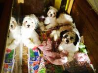 Cute Shihtzu puppies. I also have malshi puppies