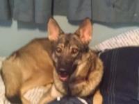 i have Shiloh shepherd/ german shepherd mix puppies I