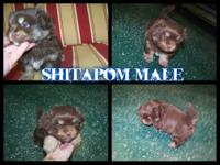 Shitapom for sale his daddy is a shihtzu his mommy is a