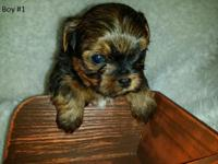 Charming Shorkie (Yorkshire Terrier (daddy) and Shih