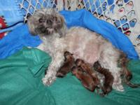 I had a nice litter of Shorkie puppies born