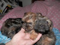I have a litter of cute Shorkie pups that will be