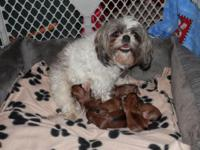 I have a new litter of Shorkies(shih-tzu and Yorkie