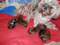 I had a nice litter of Shorkie puppies born 7/30/15,