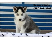 Affectionate Siberian Husky Male and Female for