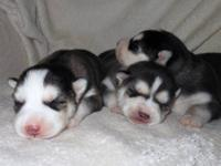 Adorable Husky Puppies Looking for a Family! Five