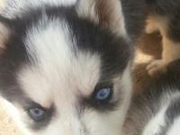 I have 3 beautiful Siberian Husky puppies left 2