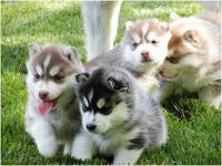 I have cute and lovely blue eyes Siberian Husky puppies
