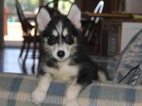 I have a sweet AKC Siberian husky male for sale. He is