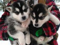 We have 3 Siberian Husky Pups available for new homes