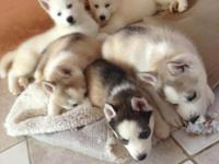 This Siberian Huskys male an female black and withe and