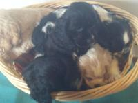 THREE MALE & THREE FEMALE COCKER SPANIELS ( 6 TOTAL)