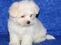 ????????Cute Stunning Genuine Maltese Puppies Available