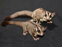 I have a pair of male and female sugar glider joeys, I