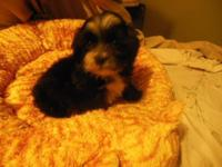 We are adopting out our Havanese Puppies we have