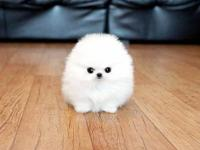 Cute/Sweet male and female Teacup Pomeranian are on