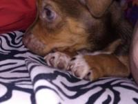 Taco Terrier Young puppy (Chihuahua / Plaything Fox