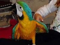 Well tamed and talking parrots, very healthy and got a