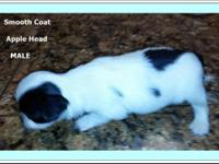 Taking Deposits now, cute Chihuahua's must see to