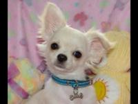 I have a litter of five adorable Chihuahua puppies,
