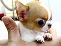 Dfsgjh Teacup Chihuahuas puppies for sale $400