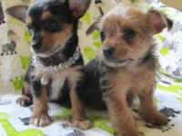 I have two cute Chorkie young puppies! Born May 18th,