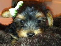 My little sweeties are beautiful yorkie babies, born