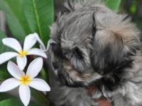 I have an adorable teacup Sable Morkie ready to go to