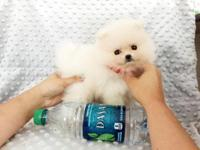 eacup White Pomeranians for sale. We are moving and