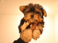 We have a litter of cute pure breed yorkie puppies .