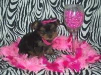 Cute, cuddly CKC registered Tiny Toy & Teacup Yorkie