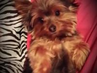Hi, I have a brilliant full grown teacup yorkie. He's 3