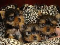 They are healthy puppies , very playful and current on