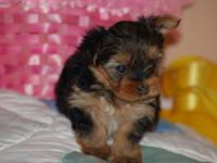 Hello Guys! I got a male and a female yorkie puppies