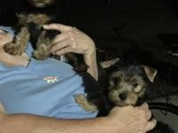 Male and female Purebred teacup yorkie puppies. 10
