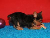 Cute Teacup Yorkies Puppies!!!(240) 349-6475