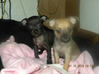 CUTE BREATH TAKING CHIHUAHUA PUPPIES LOOKING FOR A GOOD