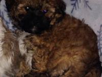 Super cuddly, soft and curly teddybears born 9/7 are