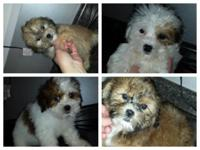 Teddybears for sale 5 males and 2 females. they are vet