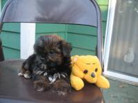 I have one cute tiny boy Shih Tzu/Yorkie mix puppy for
