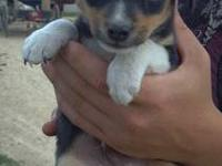 We have for sale a litter of 4 rat terrier/ maltise mix