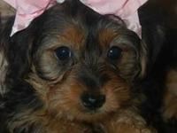 CKC Registered Yorkshire Terrier Female Puppy - Tiny