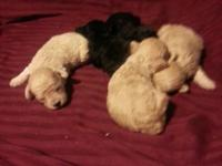 We have a litter of 5 males: they will be ready for