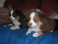 I have 1 left he's a little toy mini aussie tri male